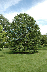 Northern Pin Oak (Quercus ellipsoidalis) at Millcreek Nursery Ltd