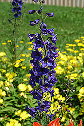 Black Knight Larkspur (Delphinium 'Black Knight') at Millcreek Nursery Ltd