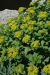 Russian Stonecrop (Sedum kamtschaticum) at Millcreek Nursery Ltd