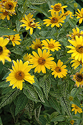 Loraine Sunshine False Sunflower (Heliopsis helianthoides 'Loraine Sunshine') at Millcreek Nursery Ltd