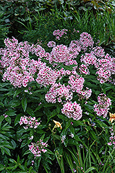 Bright Eyes Garden Phlox (Phlox paniculata 'Bright Eyes') at Millcreek Nursery Ltd