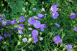 Carpathain Bellflower (Campanula carpatica) at Millcreek Nursery Ltd