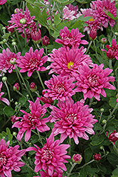 Dreamweaver Chrysanthemum (Chrysanthemum 'Dreamweaver') at Millcreek Nursery Ltd