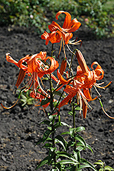 Tiger Lily (Lilium lancifolium) at Millcreek Nursery Ltd