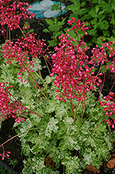 Snow Angel Coral Bells (Heuchera sanguinea 'Snow Angel') at Millcreek Nursery Ltd