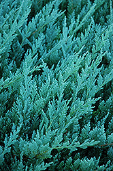 Blue Chip Juniper (Juniperus horizontalis 'Blue Chip') at Millcreek Nursery Ltd