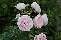Morden Blush Shrub Rose (Rosa 'Morden Blush') at Millcreek Nursery Ltd