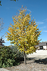 Harvest Gold Mongolian Linden (Tilia mongolica 'Harvest Gold') at Millcreek Nursery Ltd