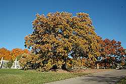 Burr Oak (Quercus macrocarpa) at Millcreek Nursery Ltd