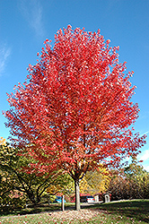 Autumn Blaze Maple (Acer x freemanii 'Jeffersred') at Millcreek Nursery Ltd