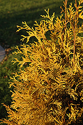 Yellow Ribbon Cedar (Thuja occidentalis 'Yellow Ribbon') at Millcreek Nursery Ltd