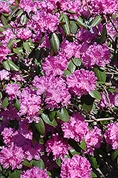P.J.M. Rhododendron (Rhododendron 'P.J.M.') at Millcreek Nursery Ltd