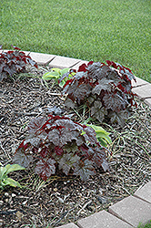 Palace Purple Coral Bells (Heuchera micrantha 'Palace Purple') at Millcreek Nursery Ltd