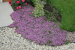 Red Creeping Thyme (Thymus praecox 'Coccineus') at Millcreek Nursery Ltd