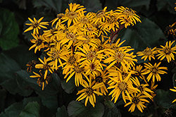 Britt Marie Crawford Rayflower (Ligularia dentata 'Britt Marie Crawford') at Millcreek Nursery Ltd