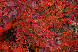 Rose Glow  Barberry (Berberis thunbergii 'Rose Glow') at Millcreek Nursery Ltd