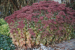 Matrona Stonecrop (Sedum 'Matrona') at Millcreek Nursery Ltd