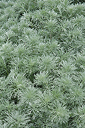 Silver Mound Artemesia (Artemisia schmidtiana 'Silver Mound') at Millcreek Nursery Ltd