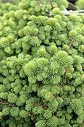 Little Gem Spruce (Picea abies 'Little Gem') at Millcreek Nursery Ltd