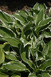 White-Variegated Hosta (Hosta undulata 'Albomarginata') at Millcreek Nursery Ltd