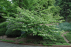 Pagoda Dogwood (Cornus alternifolia) at Millcreek Nursery Ltd