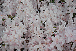White Lights Azalea (Rhododendron 'White Lights') at Millcreek Nursery Ltd