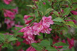 Minuet Weigela (Weigela florida 'Minuet') at Millcreek Nursery Ltd