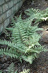 Ghost Fern (Athyrium 'Ghost') at Millcreek Nursery Ltd