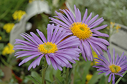 Goliath Alpine Aster (Aster alpinus 'Goliath') at Millcreek Nursery Ltd