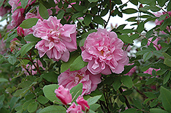 Therese Bugnet Shrub Rose (Rosa 'Therese Bugnet') at Millcreek Nursery Ltd