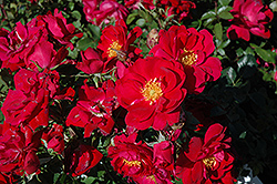 Henry Kelsey Rose (Rosa 'Henry Kelsey') at Millcreek Nursery Ltd