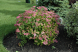 Goldflame Spirea (Spiraea x bumalda 'Goldflame') at Millcreek Nursery Ltd