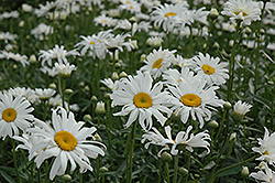 Shasta Daisy (Leucanthemum x superbum) at Millcreek Nursery Ltd