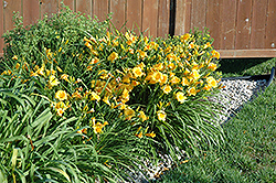 Stella D'Oro Daylily (Hemerocallis 'Stella D'Oro') at Millcreek Nursery Ltd
