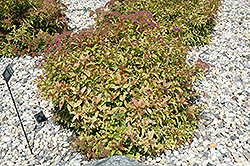 Flaming Mound Spirea (Spiraea japonica 'Flaming Mound') at Millcreek Nursery Ltd