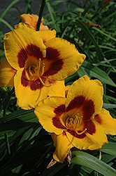 Blackberry Candy Daylily (Hemerocallis 'Blackberry Candy') at Millcreek Nursery Ltd
