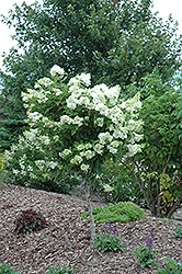 Pink Diamond Hydrangea (tree form) (Hydrangea paniculata 'Pink Diamond (tree form)') at Millcreek Nursery Ltd