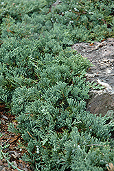 Blue Rug Juniper (Juniperus horizontalis 'Wiltonii') at Millcreek Nursery Ltd