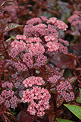 Xenox Stonecrop (Sedum 'Xenox') at Millcreek Nursery Ltd
