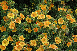 Mango Tango Potentilla (Potentilla fruticosa 'Mango Tango') at Millcreek Nursery Ltd