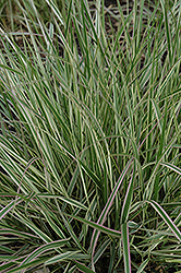 Variegated Reed Grass (Calamagrostis x acutiflora 'Overdam') at Millcreek Nursery Ltd