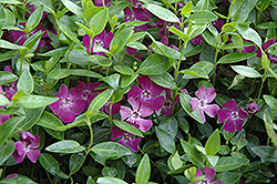 Burgundy Periwinkle (Vinca minor 'Atropurpurea') at Millcreek Nursery Ltd