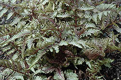 Red Beauty Painted Fern (Athyrium nipponicum 'Red Beauty') at Millcreek Nursery Ltd