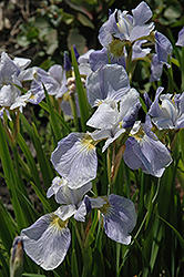Summer Sky Iris (Iris sibirica 'Summer Sky') at Millcreek Nursery Ltd