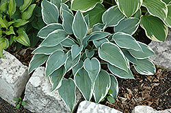 El Nino Hosta (Hosta 'El Nino') at Millcreek Nursery Ltd