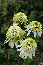 Coconut Lime Coneflower (Echinacea 'Coconut Lime') at Millcreek Nursery Ltd