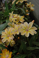Little Peach Bitteroot (Lewisia 'Little Peach') at Millcreek Nursery Ltd