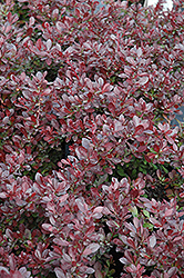 Cherry Bomb Japanese Barberry (Berberis thunbergii 'Monomb') at Millcreek Nursery Ltd