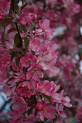 Rudolph Flowering Crab (Malus 'Rudolph') at Millcreek Nursery Ltd