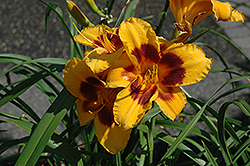 Black Eyed Susan Daylily (Hemerocallis 'Black Eyed Susan') at Millcreek Nursery Ltd